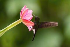 The Tourmaline Sunangel, Heliangelus exortis is sitting on the flower stock image
