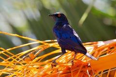 ?tourneau brillant de cap, nitens de Lamprotornis, dans l'habitat de nature, arbre orange de plam avec des fruits Portrait en gro photographie stock libre de droits