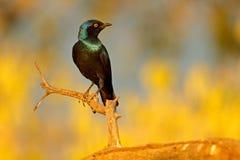 ?tourneau brillant de cap, nitens de Lamprotornis, habitat de nature Portrait en gros plan de d?tail avec l'oeil jaune Bel oiseau photographie stock libre de droits