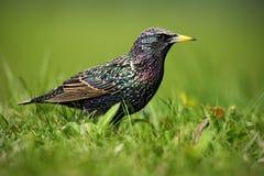 Étourneau européen, Sturnus vulgaris, dans le beau plumage marchant dans l'herbe verte Images libres de droits