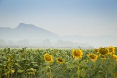Tournesol à la ferme de tabac et à l'arrière-plan de montagne image stock
