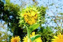 Tournesol étant fleur Photos stock