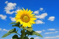 Tournesol étonnant et ciel bleu Image stock