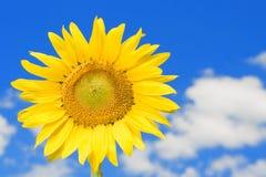 Tournesol étonnant et ciel bleu Image libre de droits