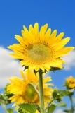 Tournesol étonnant et ciel bleu Photo stock