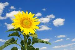 Tournesol étonnant et ciel bleu Images stock