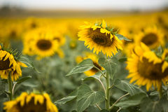 Tournesol étroit dans le Dakota du Sud photos libres de droits