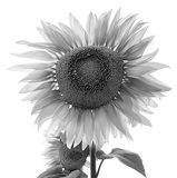 Tournesol Images stock