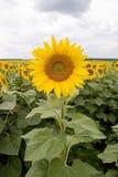 Tournesol Photographie stock libre de droits