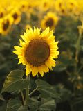 Tournesol. photos libres de droits