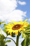 Tournesol photos libres de droits