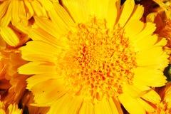 Tournesol Image libre de droits