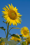 Tournesol Photographie stock