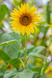 Tournesol Images libres de droits