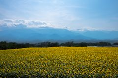 Tournesol au Japon Images libres de droits