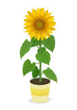 Tournesol aux usines mises en pot Image stock