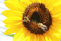 Tournesol avec des abeilles Images stock