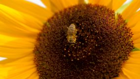 Tournesol avec deux abeilles de miel rassemblant le pollen sur la tête de tournesol banque de vidéos