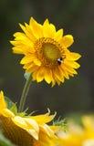Tournesol avec l'abeille Photographie stock libre de droits