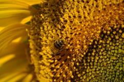 Tournesol avec l'abeille Photo libre de droits