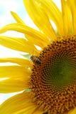 Tournesol avec l'abeille image stock