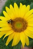 Tournesol avec l'abeille Images libres de droits