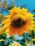 Tournesol avec l'abeille images stock