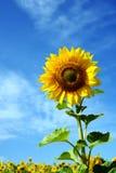 Tournesol avec le ciel bleu en soleil photos libres de droits