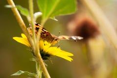 Tournesol avec le papillon photos libres de droits