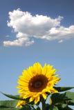 Tournesol avec une abeille Photo libre de droits