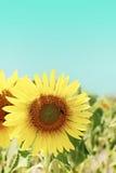 Tournesol avec une abeille de pollination Photos stock