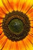 Tournesol coloré Photos libres de droits