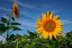 Tournesol contre un ciel bleu en été photos libres de droits