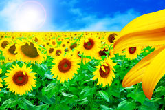 Tournesol d'or Photo stock