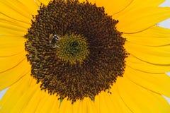 Tournesol 02 d'abeille Image libre de droits