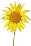 Tournesol d'isolement images stock