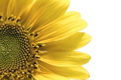 tournesol d'isolement par groupe images stock