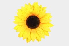 Tournesol d'isolement sur le blanc Image stock