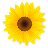 Tournesol d'isolement sur le fond blanc. illustration stock