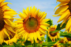 Tournesol dans des Frances du sud Photo stock