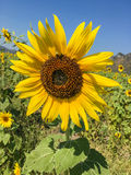 Tournesol dans la ferme Photo libre de droits