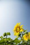 Tournesol dans le domaine avec sky4 bleu Photo stock