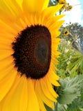 Tournesol dans le jardin Image stock