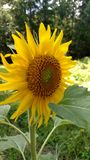 Tournesol dans le jardin Photo libre de droits