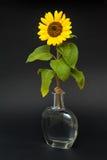 Tournesol dans le vase de l'eau Image stock