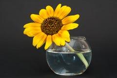 Tournesol dans le vase de l'eau Photos stock