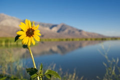 Tournesol de bord de lac Photographie stock libre de droits