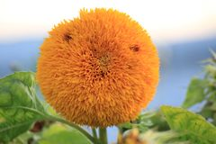 Tournesol de fleur photo stock