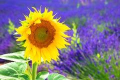 Tournesol de fleur s'élevant sur un gisement de lavande Images libres de droits