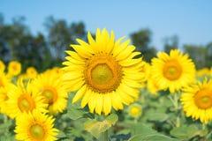 Tournesol de floraison image stock